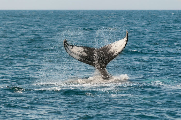 whale-watching-australia